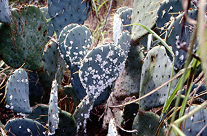 Cactus with Cochineal