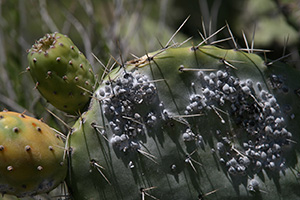 Source of Cochineal Extract. Cochineal insects on a cactus. Click for original photo by onepixelsquare